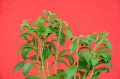 Växter av sötningsmedelsteviaen Royaltyfri Fotografi