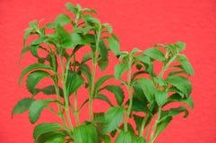 Växter av sötningsmedelsteviarebaudianaen och en röd vägg som bakgrund Arkivfoton