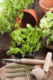 Växter av sallad Fotografering för Bildbyråer
