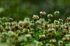 växter av släkten Trifolium Royaltyfria Foton