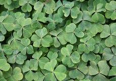 växter av släkten Trifolium Royaltyfri Foto