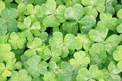 växter av släkten Trifolium Arkivfoton