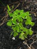 Växter av släktet Trifolium från asfalt arkivbild