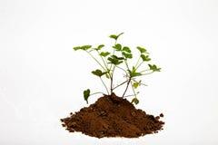 Växter av släktet Trifolium som växer ut ur jord Royaltyfria Foton
