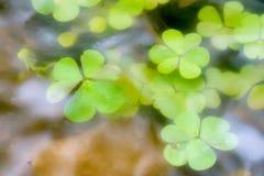 Växter av släktet Trifolium svävar precis under yttersida av vatten Royaltyfri Bild