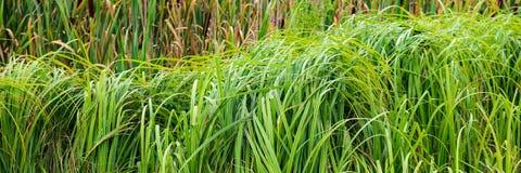 Växter av unga vasser böjde vid vinden Illustration i vektor royaltyfri foto