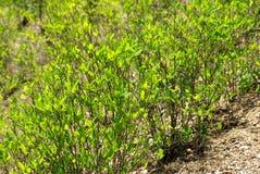 växter för andes cocaberg Arkivbilder