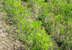 växter för andes cocaberg Arkivbild