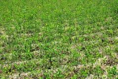 växter för andes cocaberg Arkivfoton