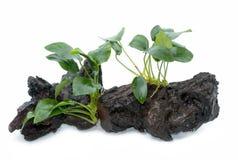 Växter för Anubias barteriakvarium på liten drivved Arkivbild