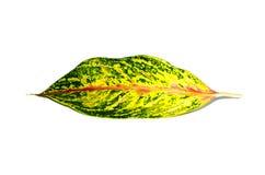 Växter för blomning för härligt grönt blad för Dieffenbachia enkelt tropiska i familjaraceaen som isoleras på vit bakgrund Arkivfoton