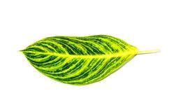 Växter för blomning för härligt grönt blad för Dieffenbachia enkelt tropiska i familjaraceaen som isoleras på vit bakgrund arkivfoto
