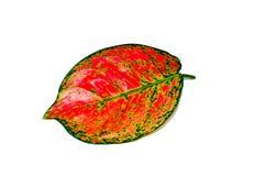 Växter för blomning för härligt rosa blad för Dieffenbachia enkelt tropiska i familjaraceaen som isoleras på vit bakgrund royaltyfri foto