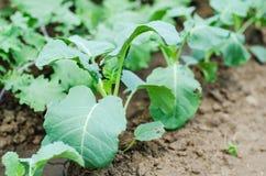 Växter för Bryssel groddar Arkivfoton