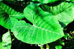 Växter för elefantöra Arkivfoto