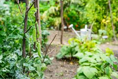 Växter för grön ärta klättrar upp ställningen royaltyfria bilder