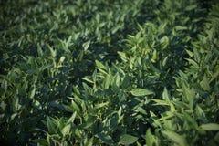 Växter för grön sojaböna i fält Royaltyfria Foton