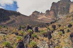 Växter för hög höjd av Mount Kenya Royaltyfri Foto
