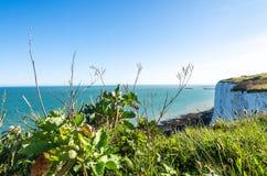 Växter för havsgrönkål på de vita klipporna av Dover vid den engelska kanalen Arkivfoton
