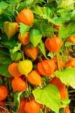 Växter för kinesisk lykta med orange lyktor Fotografering för Bildbyråer