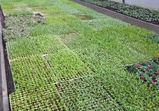 Växter för liten frukt spirar i stort växthus Arkivfoton