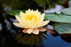 Växter för Lotus blomma Arkivfoton
