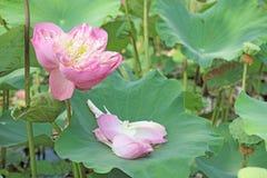 Växter för Lotus blomma i dammnaturen Royaltyfria Bilder