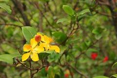 Växter för Mickey mus fotografering för bildbyråer