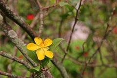Växter för Mickey mus royaltyfri bild