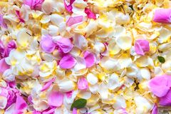 växter för phloxes för bakgrundsblommor trädgårds- Royaltyfri Foto