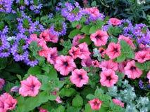 växter för phloxes för bakgrundsblommor trädgårds- Fotografering för Bildbyråer