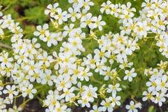 växter för phloxes för bakgrundsblommor trädgårds- Royaltyfri Bild