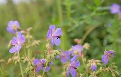 växter för phloxes för bakgrundsblommor trädgårds- arkivbilder