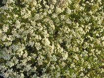 växter för phloxes för bakgrundsblommor trädgårds- Arkivbild