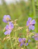 växter för phloxes för bakgrundsblommor trädgårds- royaltyfria foton