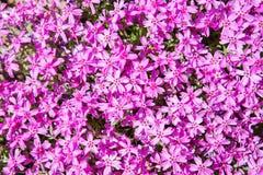 växter för phloxes för bakgrundsblommor trädgårds- Arkivfoton