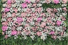 växter för phloxes för bakgrundsblommor trädgårds- Arkivfoto
