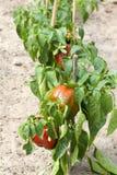 Växter för söt peppar Royaltyfria Foton