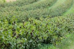 Växter för svart vinbär Arkivbilder