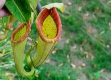 Växter för tropisk kanna Royaltyfria Bilder