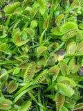 Växter för Venus flugafälla Royaltyfria Foton