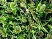 växter för venusflytrap royaltyfria foton