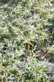 Växter för vit julgran- eller Euphorbialeucocephala i natur arbeta i trädgården arkivfoton
