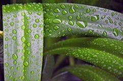 Växter - Hymenocallis littoris - sidor Arkivbild