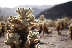 Växter i öknen Arkivbild