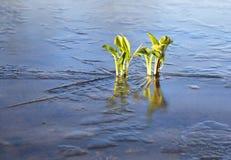 Växter i det med is over dammet Fotografering för Bildbyråer