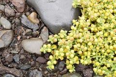 Växter i Island - gulingblommor Royaltyfria Foton