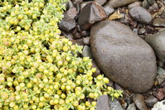 Växter i Island - gulingblommor Arkivbild