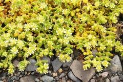 Växter i Island - gulingblommor Royaltyfri Foto