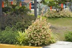 Växter i lokalen av DPWH-kontoret, Digos stad, Davao del Sur, Filippinerna arkivfoto
